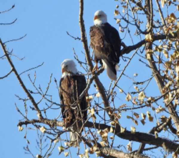 Eagles in East Moline
